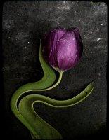 Tulipes 09
