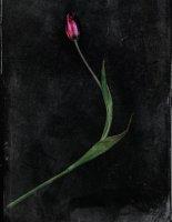 Tulipe 02