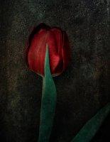 Tulipe 04