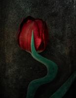 Tulipe 05