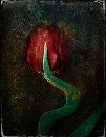 Tulipe 07
